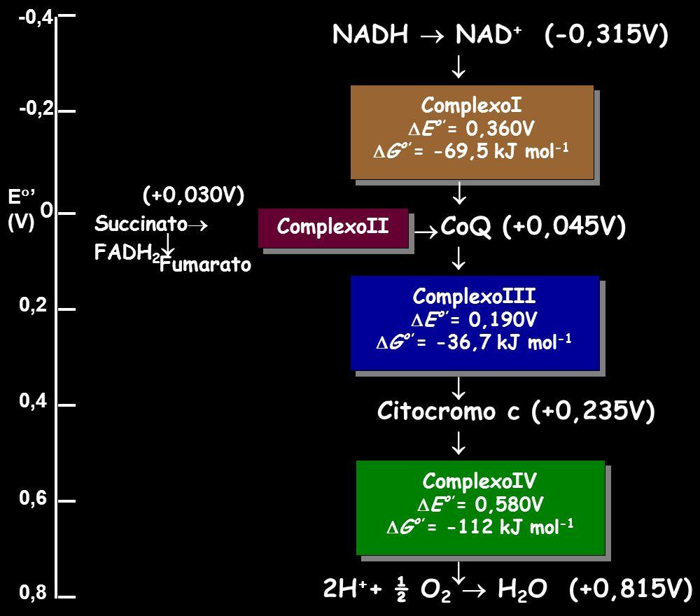 ComplexoI E º = 0,360V G º = -69,5 kJ mol -1 ComplexoI E º = 0,360V G º = -69,5 kJ mol -1 ComplexoIII E º = 0,190V G º = -36,7 kJ mol -1 ComplexoIII E