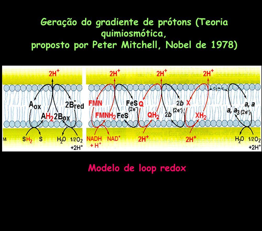Geração do gradiente de prótons (Teoria quimiosmótica, proposto por Peter Mitchell, Nobel de 1978) Modelo de loop redox