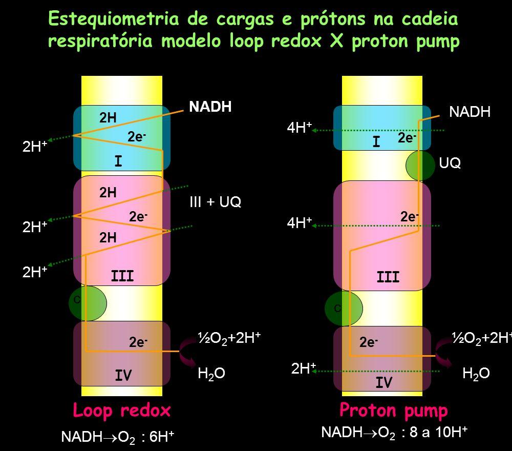 Estequiometria de cargas e prótons na cadeia respiratória modelo loop redox X proton pump 2H 2e - NADH 2H + III + UQ ½O 2 +2H + H2OH2O Loop redox c NA