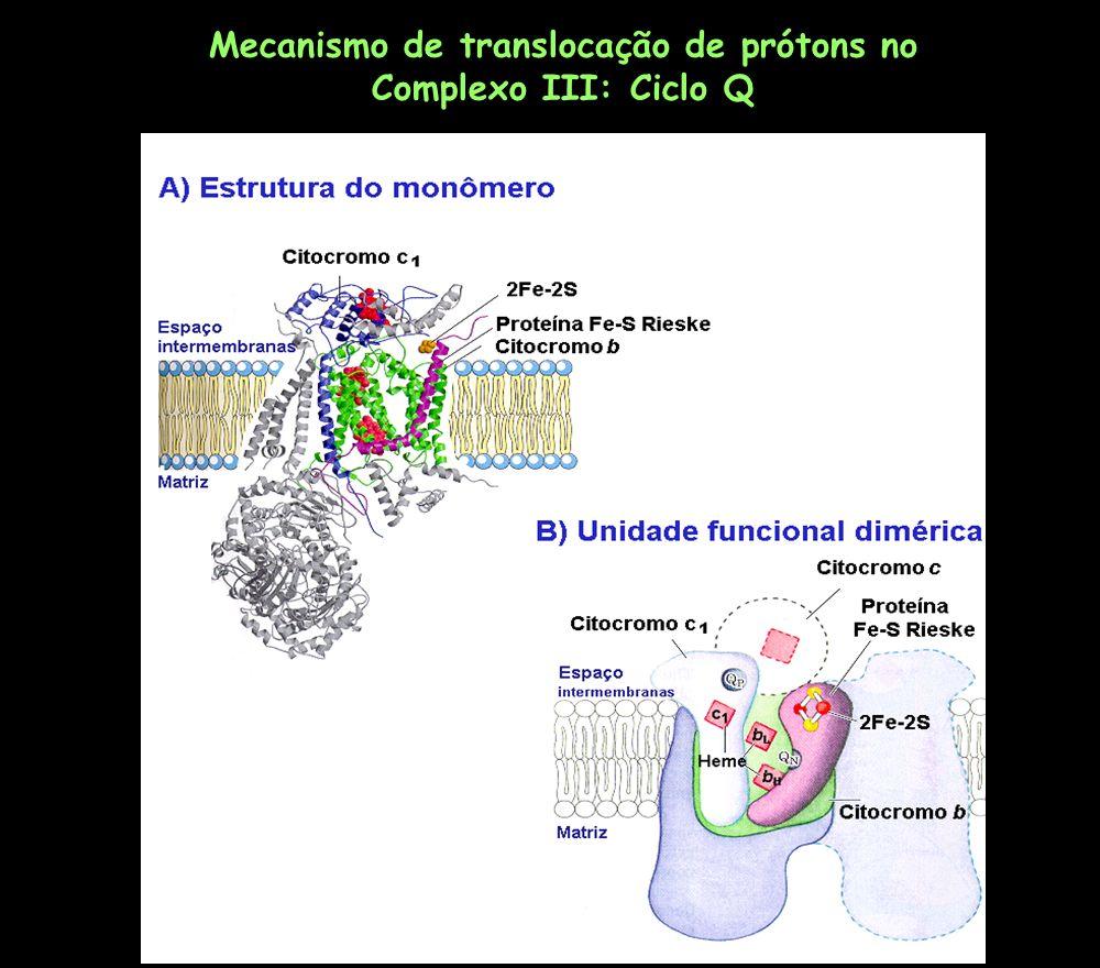 Mecanismo de translocação de prótons no Complexo III: Ciclo Q