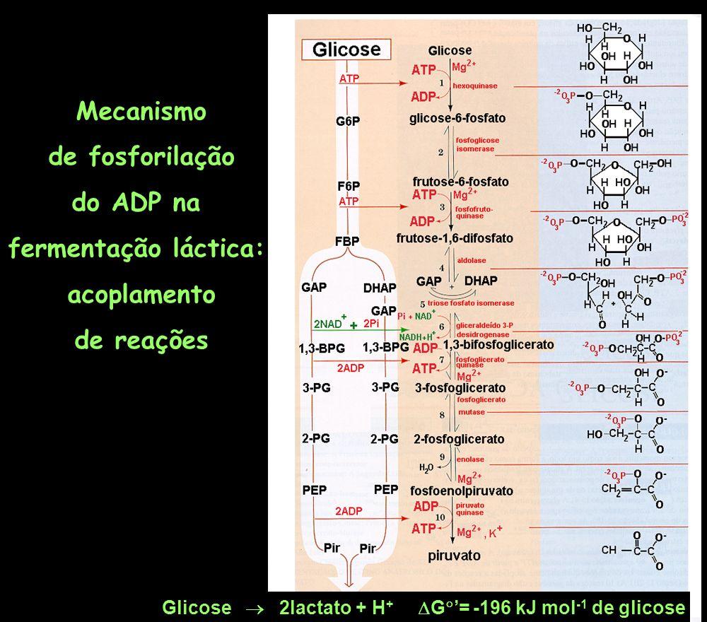 Glicose 2lactato + H + G = -196 kJ mol -1 de glicose Mecanismo de fosforilação do ADP na fermentação láctica: acoplamento de reações