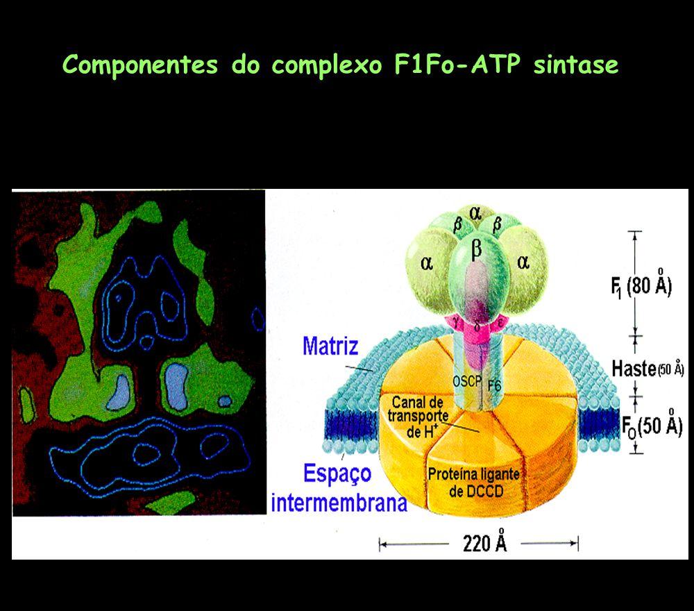 Componentes do complexo F1Fo-ATP sintase