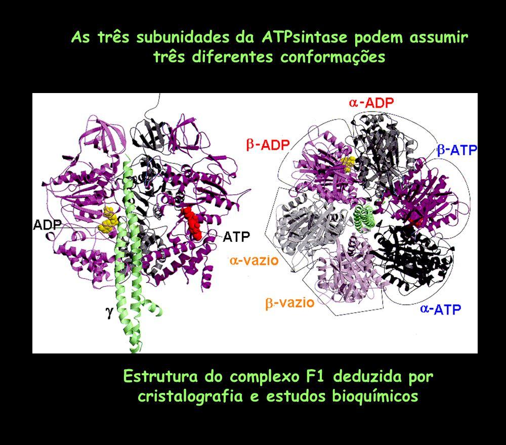 As três subunidades da ATPsintase podem assumir três diferentes conformações Estrutura do complexo F1 deduzida por cristalografia e estudos bioquímico