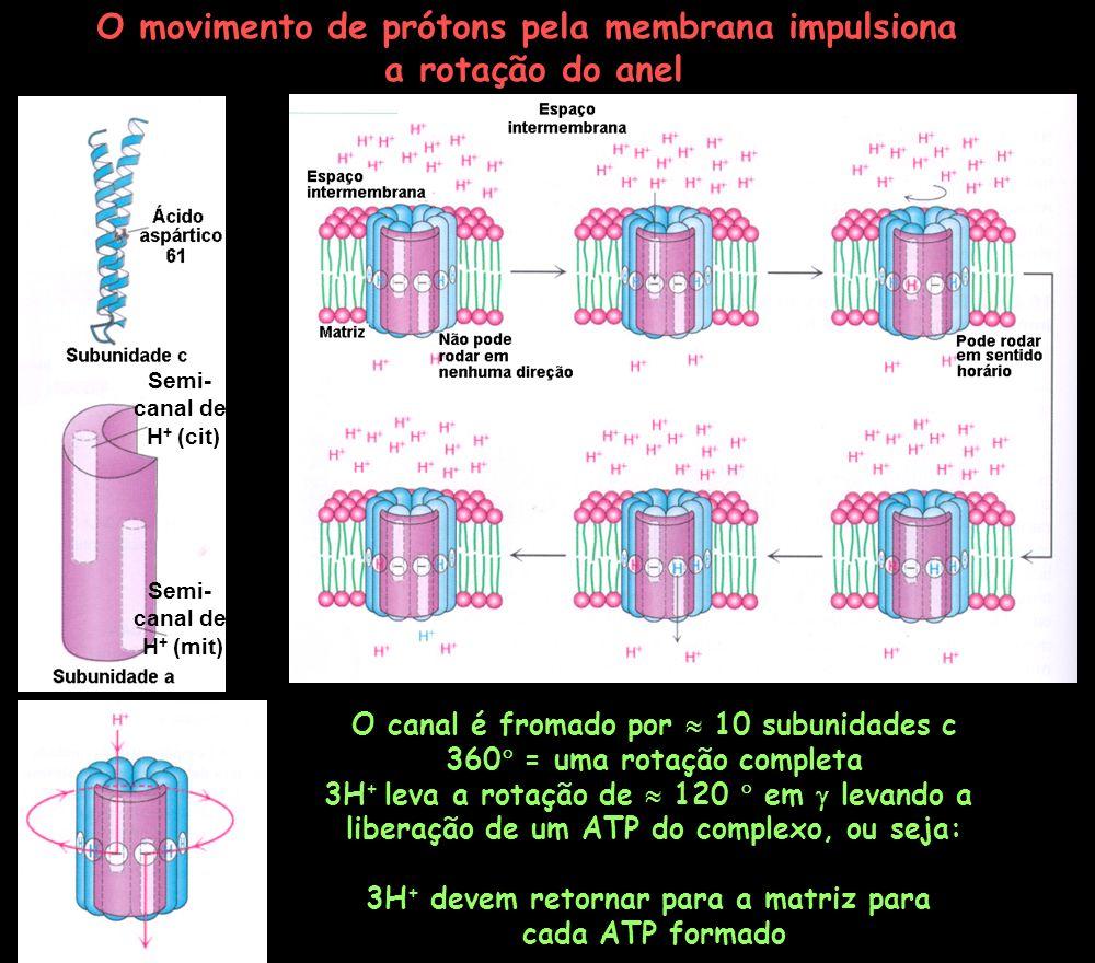 O movimento de prótons pela membrana impulsiona a rotação do anel O canal é fromado por 10 subunidades c 360 = uma rotação completa 3H + leva a rotaçã