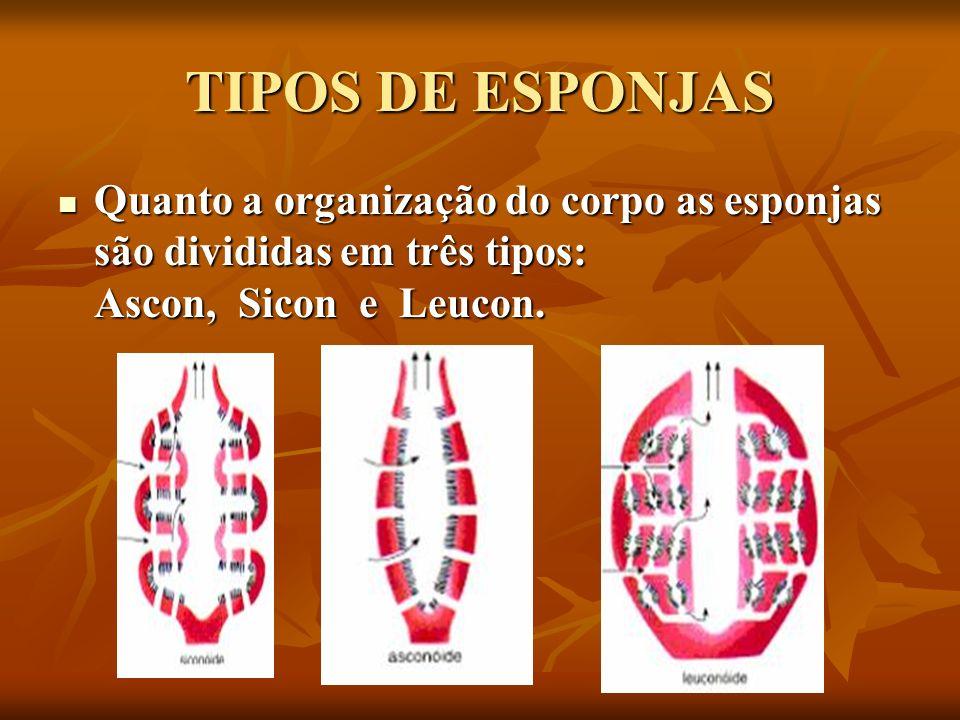 TIPOS DE ESPONJAS Quanto a organização do corpo as esponjas são divididas em três tipos: Ascon, Sicon e Leucon. Quanto a organização do corpo as espon