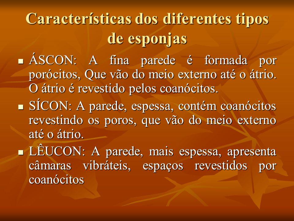 Características dos diferentes tipos de esponjas ÁSCON: A fina parede é formada por porócitos, Que vão do meio externo até o átrio. O átrio é revestid