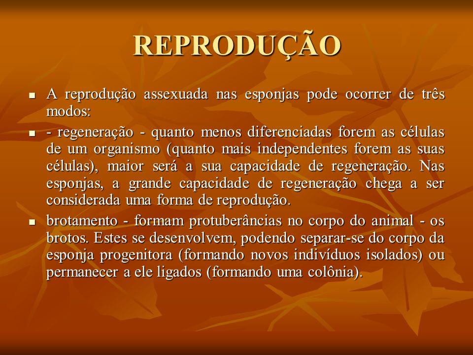 REPRODUÇÃO A reprodução assexuada nas esponjas pode ocorrer de três modos: A reprodução assexuada nas esponjas pode ocorrer de três modos: - regeneraç