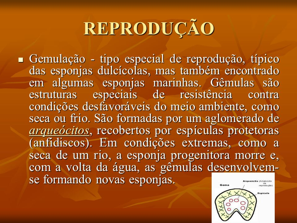 REPRODUÇÃO Gemulação - tipo especial de reprodução, típico das esponjas dulcícolas, mas também encontrado em algumas esponjas marinhas. Gêmulas são es