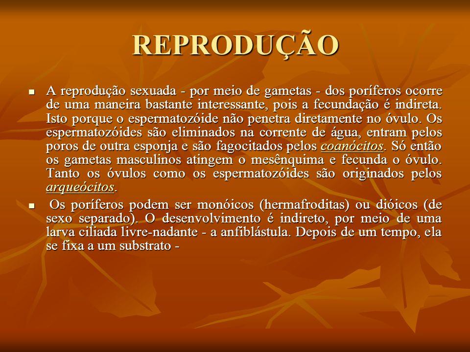 REPRODUÇÃO A reprodução sexuada - por meio de gametas - dos poríferos ocorre de uma maneira bastante interessante, pois a fecundação é indireta. Isto
