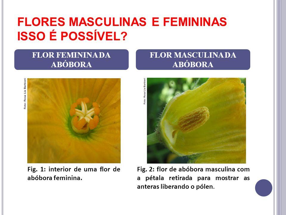 FLORES MASCULINAS E FEMININAS ISSO É POSSÍVEL? FLOR FEMININA DA ABÓBORA FLOR MASCULINA DA ABÓBORA Fig. 1: interior de uma flor de abóbora feminina. Fi