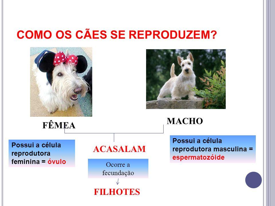 COMO OS CÃES SE REPRODUZEM? FÊMEA MACHO ACASALAM FILHOTES Possui a célula reprodutora feminina = óvulo Possui a célula reprodutora masculina = esperma