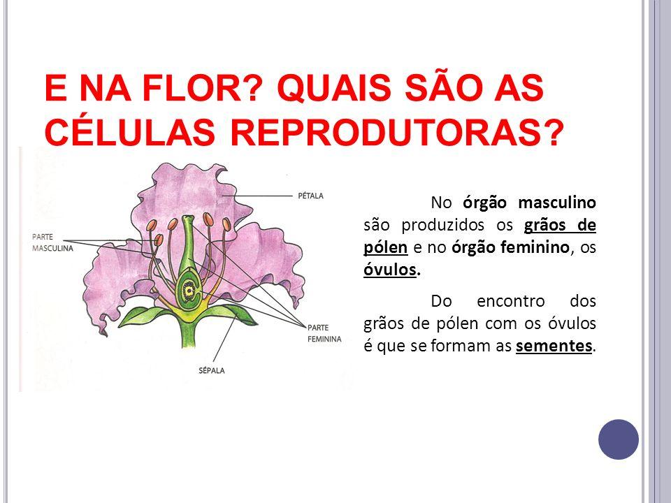 E NA FLOR? QUAIS SÃO AS CÉLULAS REPRODUTORAS? No órgão masculino são produzidos os grãos de pólen e no órgão feminino, os óvulos. Do encontro dos grão