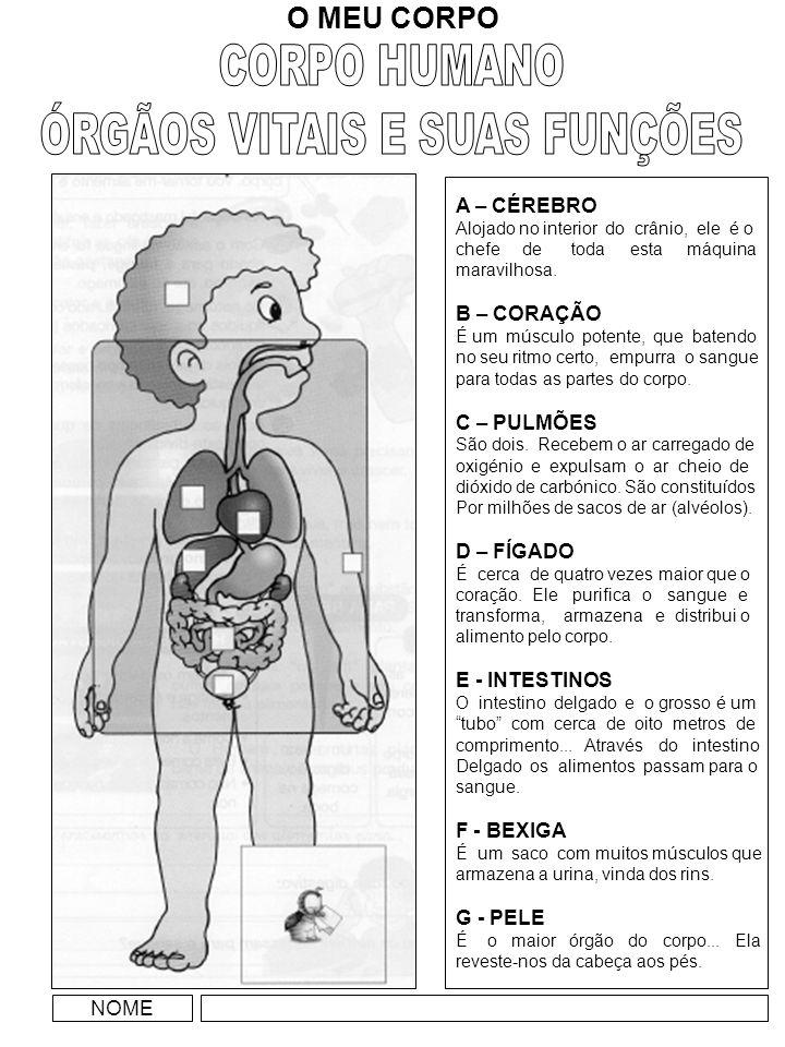 FUNÇÃO DIGESTIVA O nosso corpo possui vários órgãos, agrupados em aparelhos, cada um com funções definidas.
