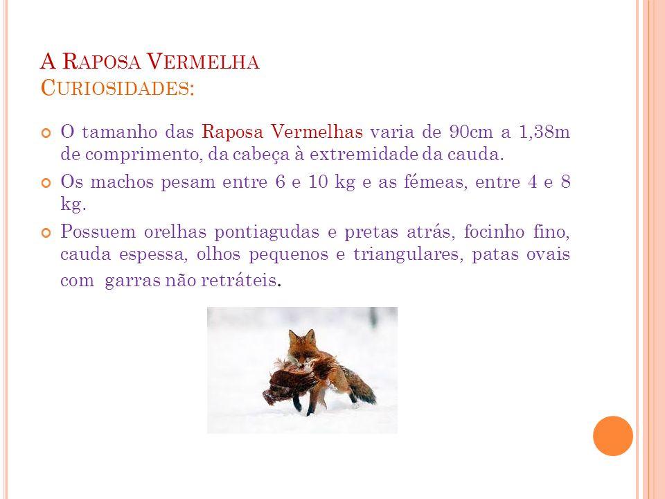 A R APOSA V ERMELHA C URIOSIDADES : O tamanho das Raposa Vermelhas varia de 90cm a 1,38m de comprimento, da cabeça à extremidade da cauda. Os machos p