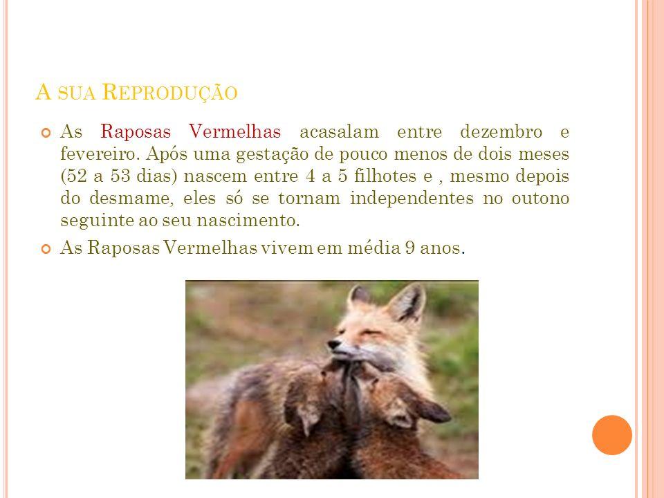A SUA R EPRODUÇÃO As Raposas Vermelhas acasalam entre dezembro e fevereiro. Após uma gestação de pouco menos de dois meses (52 a 53 dias) nascem entre