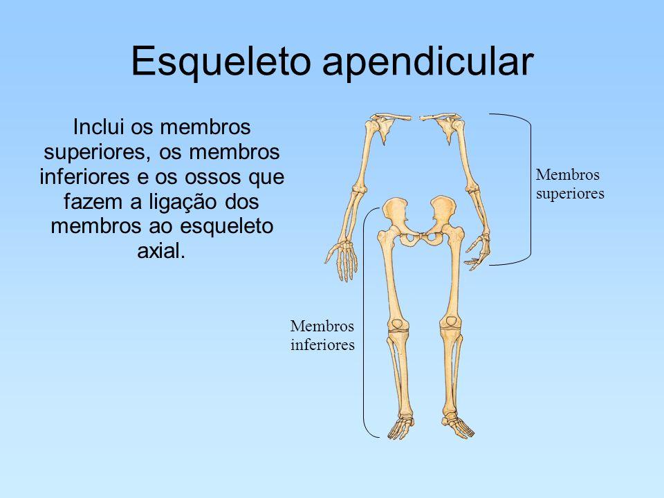 Esqueleto apendicular Inclui os membros superiores, os membros inferiores e os ossos que fazem a ligação dos membros ao esqueleto axial. Membros infer