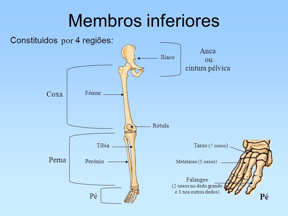 Membros inferiores Constituidos por 4 regiões: Ilíaco Anca ou cintura pélvica Fémur Coxa Tíbia Perónio Perna Pé Rótula Pé Metatarso (5 ossos) Tarso (7