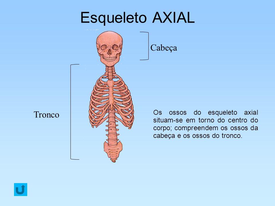 Esqueleto AXIAL Os ossos do esqueleto axial situam-se em torno do centro do corpo; compreendem os ossos da cabeça e os ossos do tronco. Tronco Cabeça