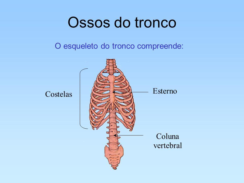 Ossos do tronco O esqueleto do tronco compreende: Esterno Coluna vertebral Costelas
