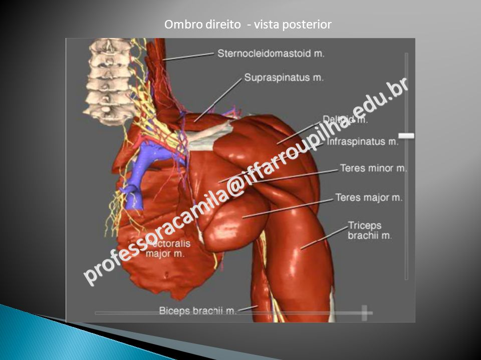 Ombro direito - vista posterior professoracamila@iffarroupilha.edu.br