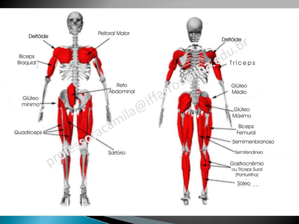 Ombro Ossos envolvidos: Clavícula Escápula Úmero Principais músculos: Deltóide (elevação lateral) Biceps (auxiliar na elevação frontal) Triceps (auxiliar na extensão e hiperextensão)