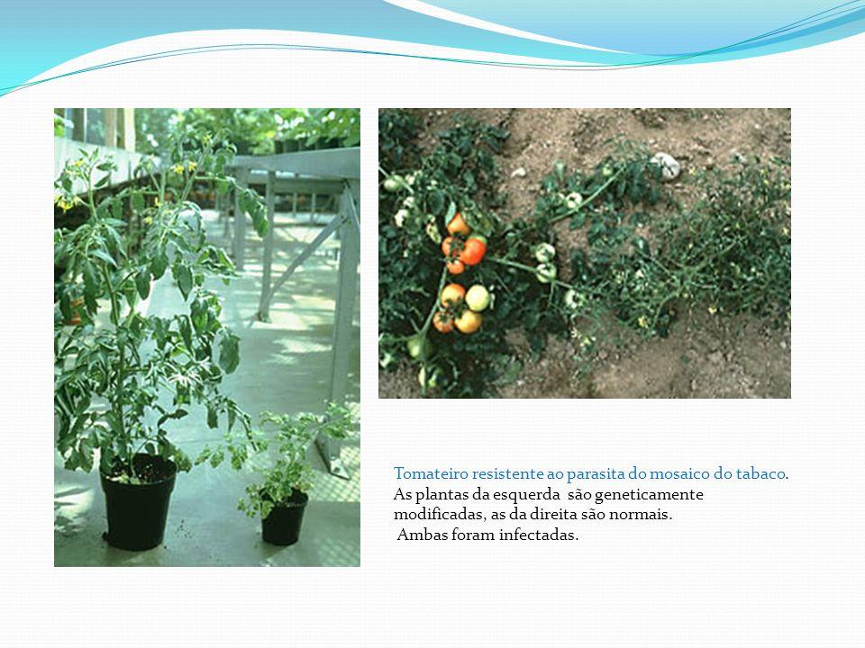 Tomateiro resistente ao parasita do mosaico do tabaco.