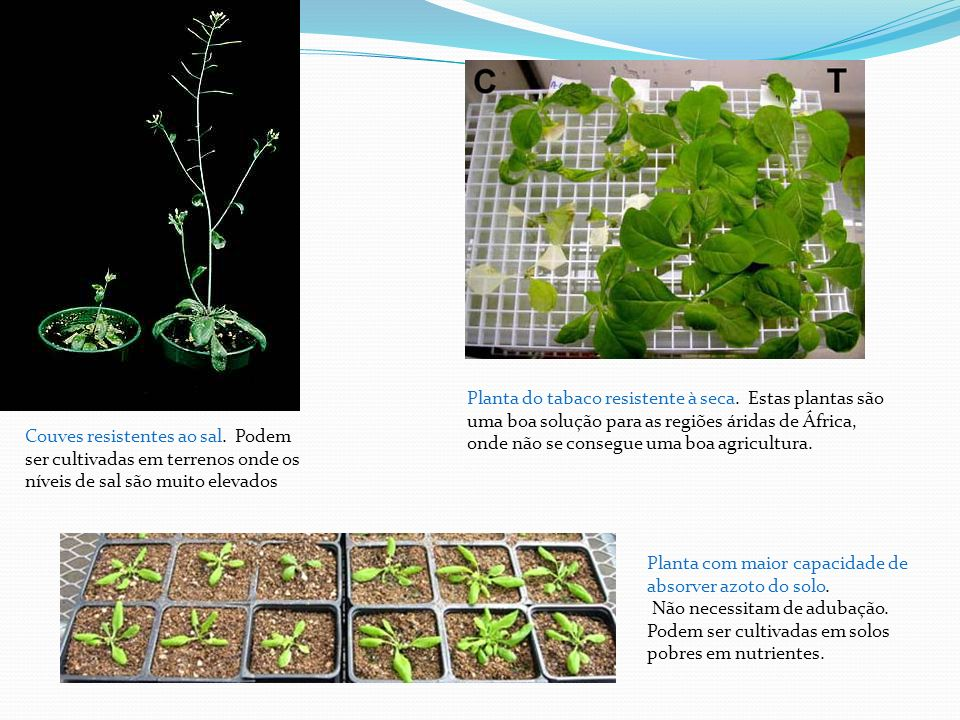 Planta do tabaco resistente à seca.