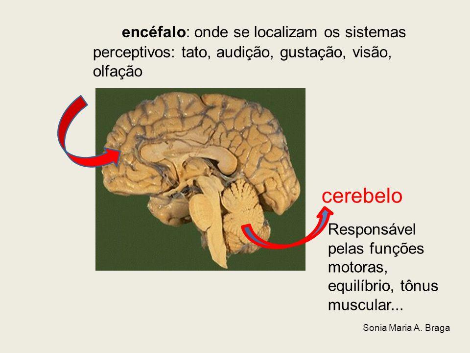 encéfalo: onde se localizam os sistemas perceptivos: tato, audição, gustação, visão, olfação cerebelo Responsável pelas funções motoras, equilíbrio, t