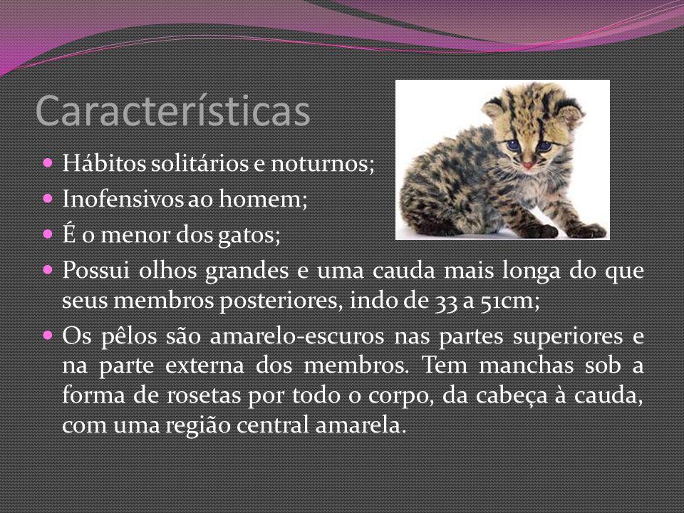 Características Hábitos solitários e noturnos; Inofensivos ao homem; É o menor dos gatos; Possui olhos grandes e uma cauda mais longa do que seus membros posteriores, indo de 33 a 51cm; Os pêlos são amarelo-escuros nas partes superiores e na parte externa dos membros.