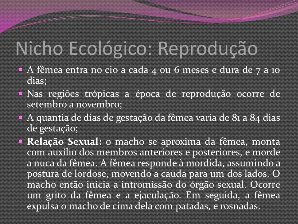 Nicho Ecológico: Reprodução A fêmea entra no cio a cada 4 ou 6 meses e dura de 7 a 10 dias; Nas regiões trópicas a época de reprodução ocorre de setembro a novembro; A quantia de dias de gestação da fêmea varia de 81 a 84 dias de gestação; Relação Sexual: o macho se aproxima da fêmea, monta com auxílio dos membros anteriores e posteriores, e morde a nuca da fêmea.