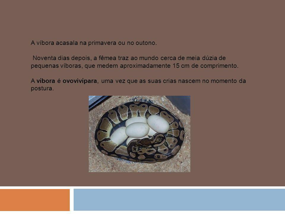 A víbora acasala na primavera ou no outono. Noventa dias depois, a fêmea traz ao mundo cerca de meia dúzia de pequenas víboras, que medem aproximadame
