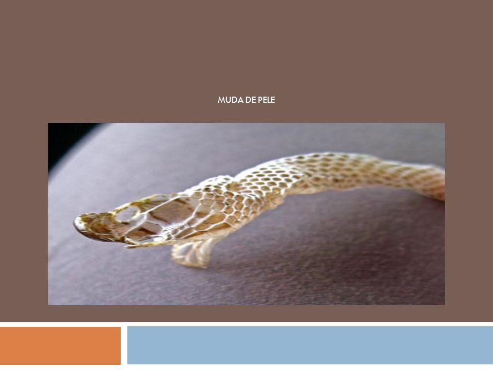 A visão das serpentes é pouco apurada, no entanto conseguem detetar o movimento.