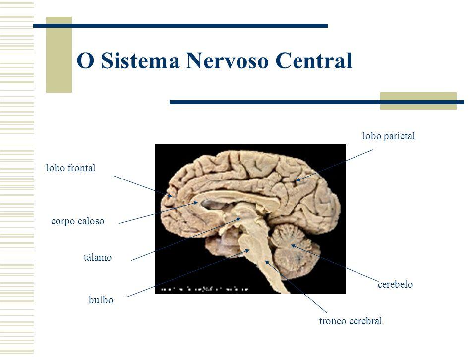O Sistema Nervoso Central cerebelo lobo frontal corpo caloso lobo parietal tronco cerebral tálamo bulbo