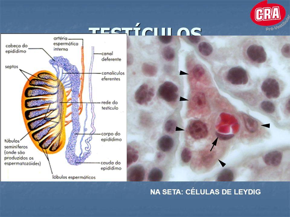 TESTÍCULOS NA SETA: CÉLULAS DE LEYDIG
