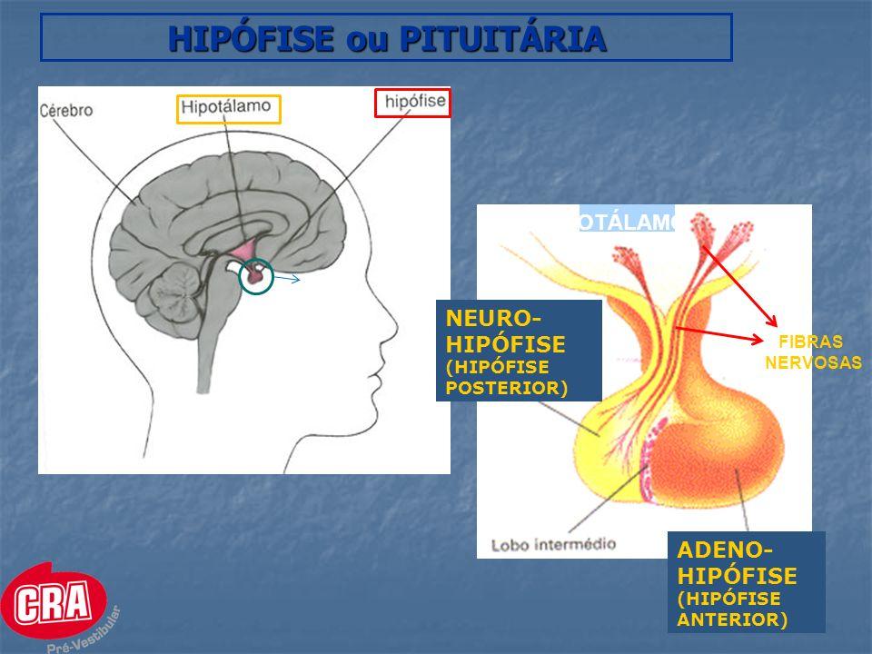 NEURO-HIPÓFISE Produção hormonal ocorre no HIPOTÁLAMO NEURÔNIOS do hipotálamo sintetizam os hormônios dentro do corpo celular que descem pelos axônios até a Neuro-Hipófise.
