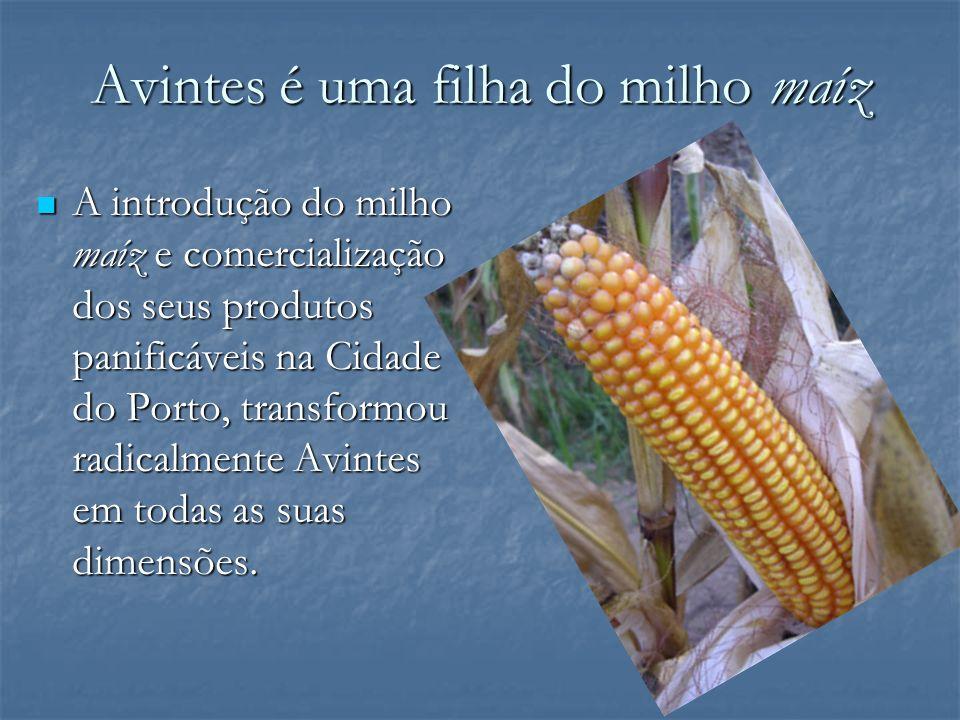 Avintes é uma filha do milho maíz A introdução do milho maíz e comercialização dos seus produtos panificáveis na Cidade do Porto, transformou radicalm