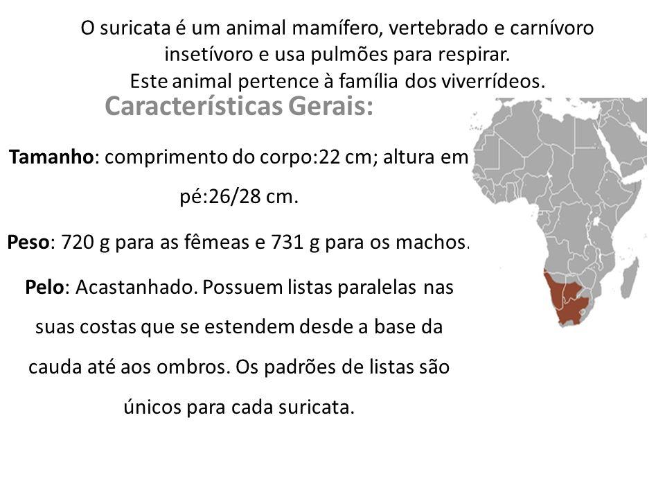 O suricata é um animal mamífero, vertebrado e carnívoro insetívoro e usa pulmões para respirar. Este animal pertence à família dos viverrídeos. Caract