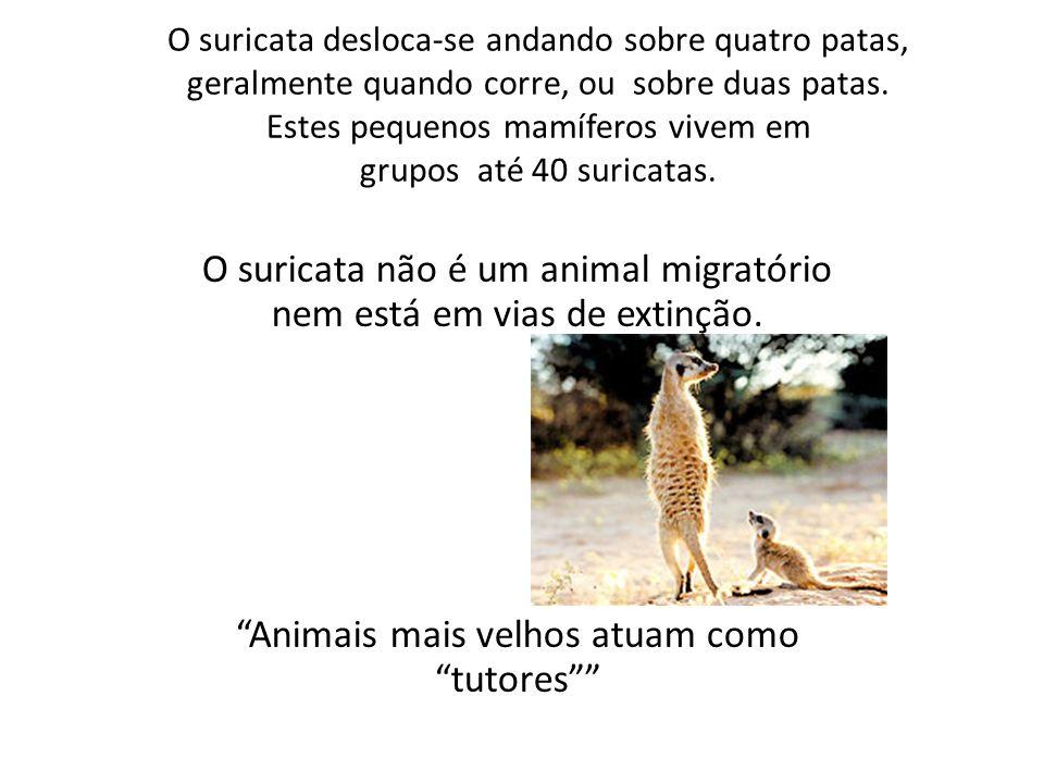 O suricata desloca-se andando sobre quatro patas, geralmente quando corre, ou sobre duas patas.