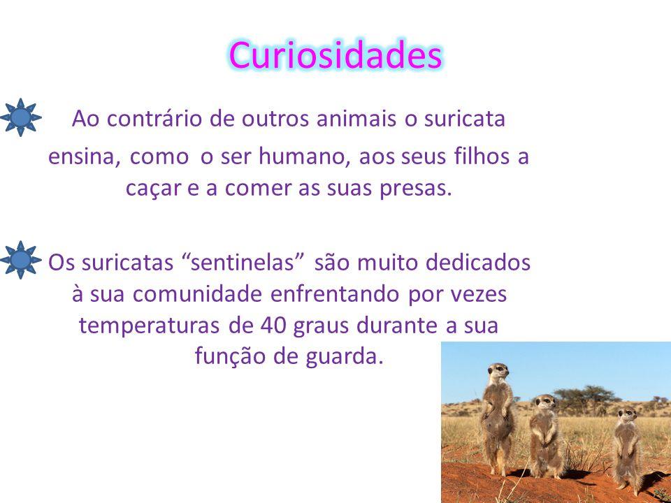 Ao contrário de outros animais o suricata ensina, como o ser humano, aos seus filhos a caçar e a comer as suas presas.