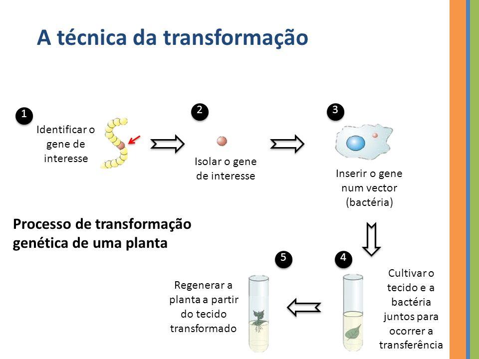 Identificar o gene de interesse Isolar o gene de interesse Inserir o gene num vector (bactéria) 1 23 4 Regenerar a planta a partir do tecido transformado 5 Cultivar o tecido e a bactéria juntos para ocorrer a transferência Processo de transformação genética de uma planta A técnica da transformação