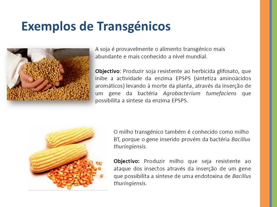 Exemplos de Transgénicos A soja é provavelmente o alimento transgénico mais abundante e mais conhecido a nível mundial.