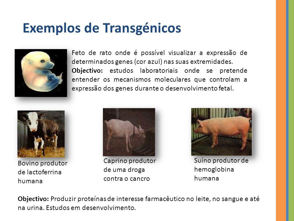 Exemplos de Transgénicos Feto de rato onde é possível visualizar a expressão de determinados genes (cor azul) nas suas extremidades.
