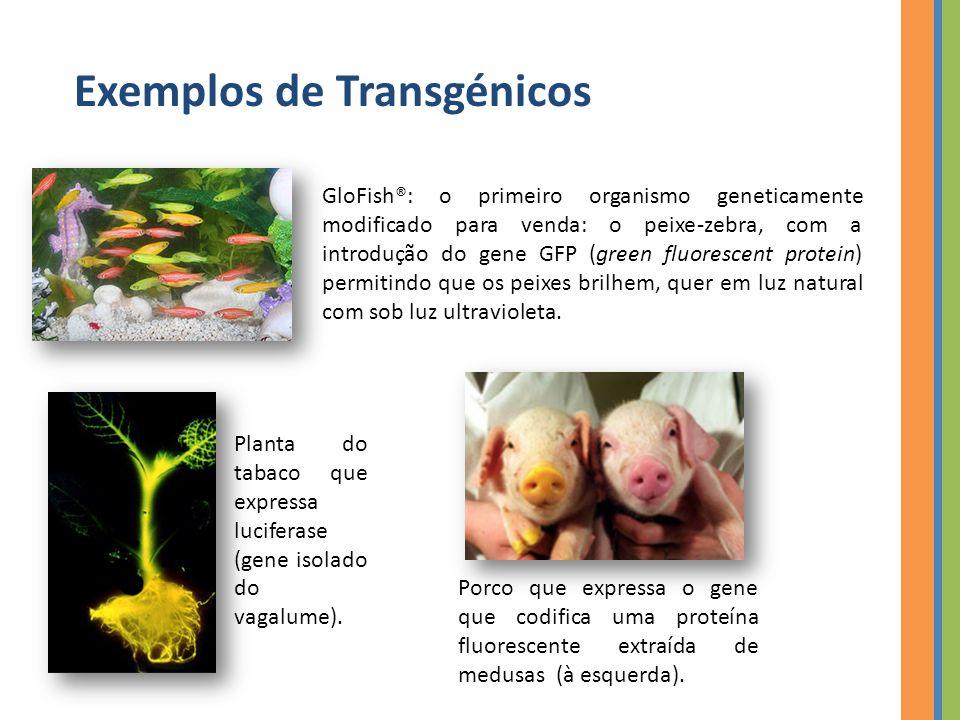Exemplos de Transgénicos GloFish®: o primeiro organismo geneticamente modificado para venda: o peixe-zebra, com a introdução do gene GFP (green fluorescent protein) permitindo que os peixes brilhem, quer em luz natural com sob luz ultravioleta.