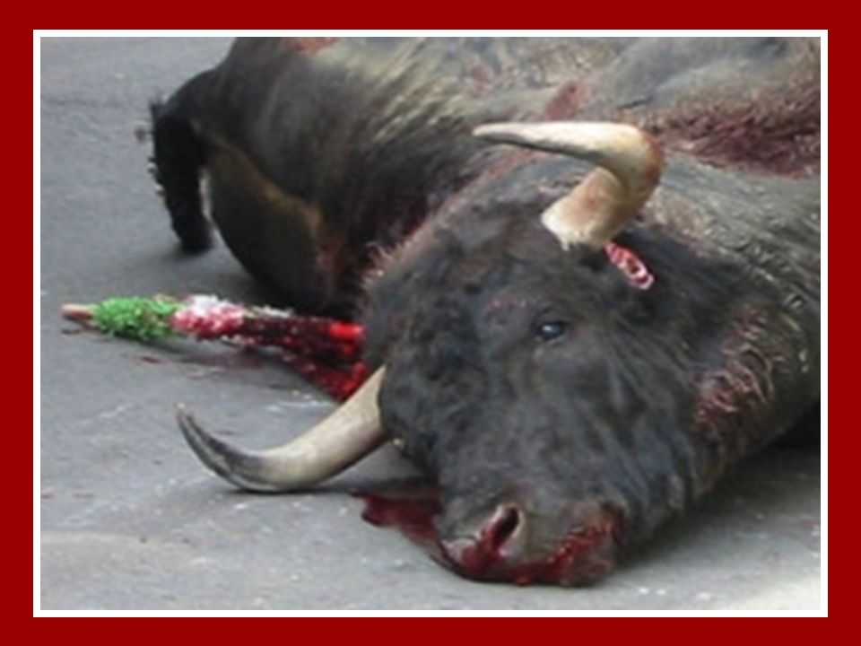 O Arrasto… Após lhe terem destroçado as vértebras, o touro perde o controlo sobre o seu corpo desde o pescoço para baixo.