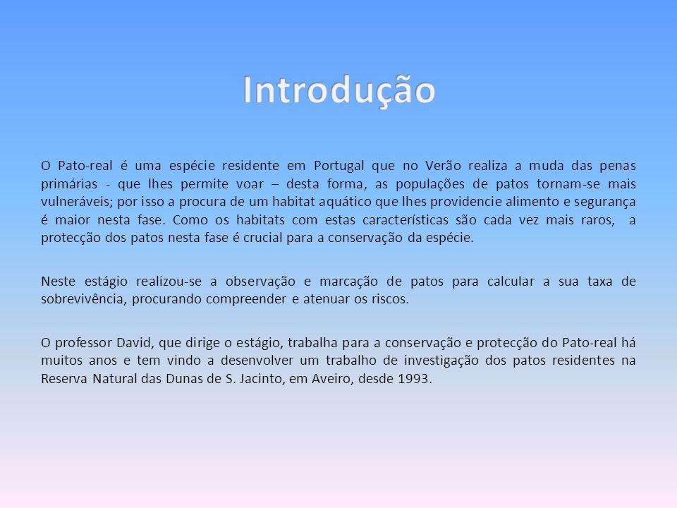 O Pato-real é uma espécie residente em Portugal que no Verão realiza a muda das penas primárias - que lhes permite voar – desta forma, as populações d