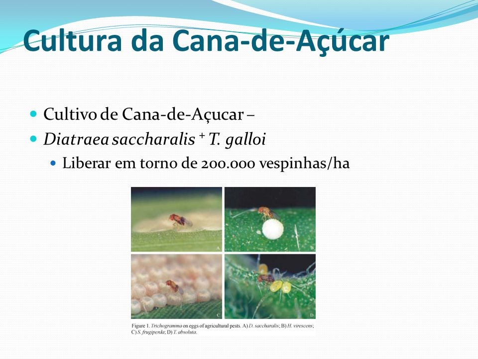 Cultivo de Cana-de-Açucar – Diatraea saccharalis T. galloi Liberar em torno de 200.000 vespinhas/ha Cultura da Cana-de-Açúcar