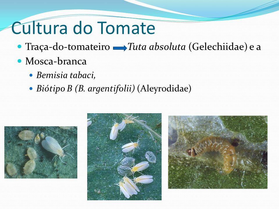 Cultura do Tomate Traça-do-tomateiro Tuta absoluta (Gelechiidae) e a Mosca-branca Bemisia tabaci, Biótipo B (B. argentifolii) (Aleyrodidae)