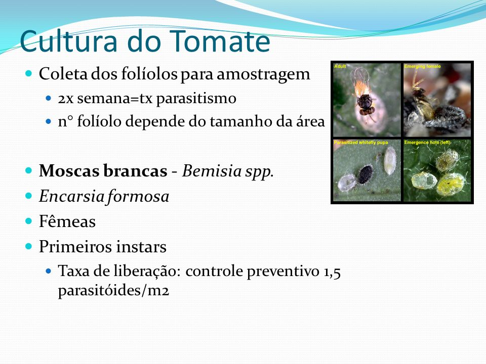 Coleta dos folíolos para amostragem 2x semana=tx parasitismo n° folíolo depende do tamanho da área Moscas brancas - Bemisia spp. Encarsia formosa Fême