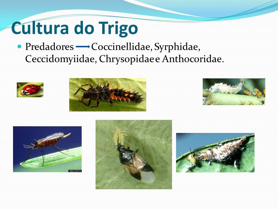 Predadores Coccinellidae, Syrphidae, Ceccidomyiidae, Chrysopidae e Anthocoridae. Cultura do Trigo