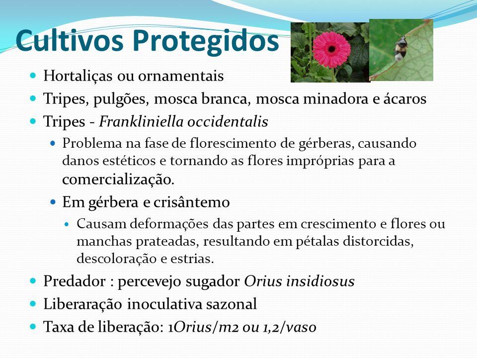 Cultivos Protegidos Hortaliças ou ornamentais Tripes, pulgões, mosca branca, mosca minadora e ácaros Tripes - Frankliniella occidentalis Problema na f